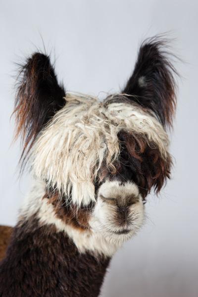 http://modernfarmer.com/wp-content/uploads/2015/09/raising-alpacas-huacaya-bangs.jpg