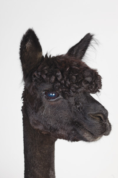 http://modernfarmer.com/wp-content/uploads/2015/09/raising-alpacas-huacaya-black.jpg