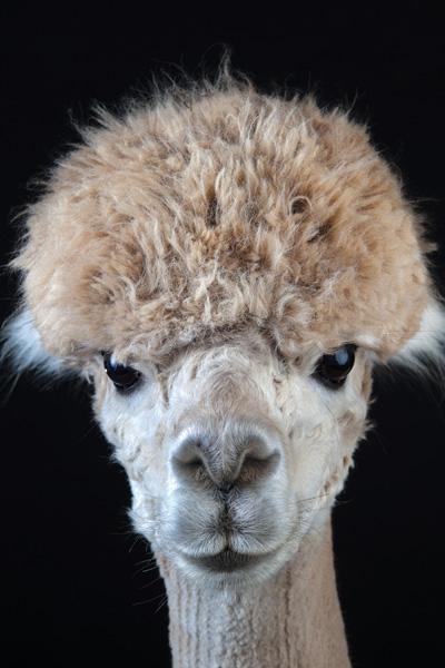 http://modernfarmer.com/wp-content/uploads/2015/09/raising-alpacas-huacaya-bowl-cut.jpg