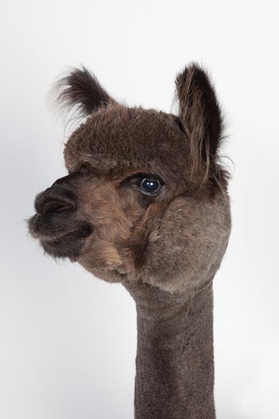 http://modernfarmer.com/wp-content/uploads/2015/09/raising-alpacas-huacaya-brown.jpg