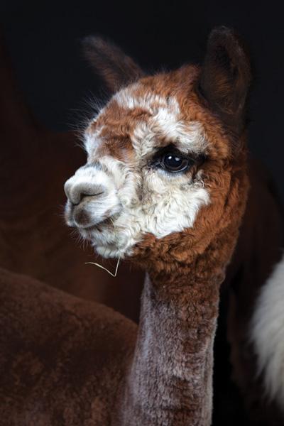http://modernfarmer.com/wp-content/uploads/2015/09/raising-alpacas-huacaya-orange.jpg