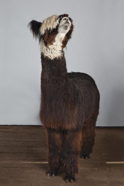 http://modernfarmer.com/wp-content/uploads/2015/09/raising-alpacas-huacaya-unshorn.jpg