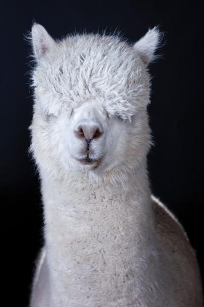 http://modernfarmer.com/wp-content/uploads/2015/09/raising-alpacas-huacaya-wooly.jpg