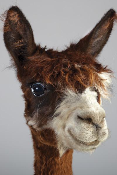 http://modernfarmer.com/wp-content/uploads/2015/09/raising-alpacas-suri.jpg