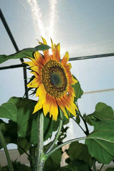 Native to North America, sunflowers are an important source of cooking oil in many parts of the world.