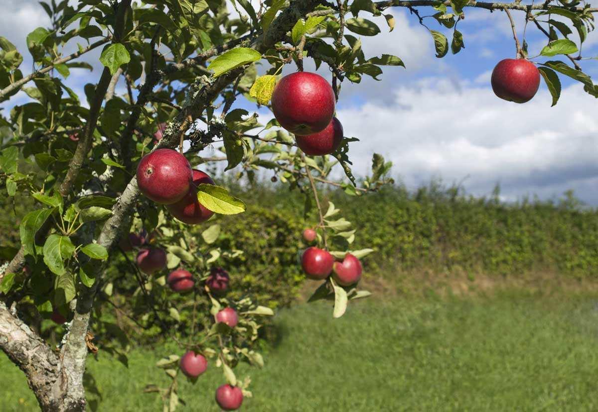 The Modern Farmer Guide To Types Of Apples Modern Farmer
