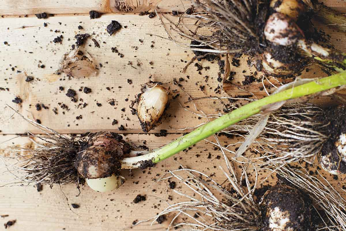 How to Plant Garlic this Fall for Summer Harvest