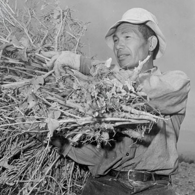 http://modernfarmer.com/wp-content/uploads/2015/10/japanese-americans-nappa-plants.jpg
