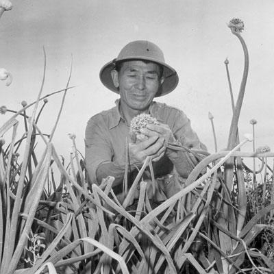 http://modernfarmer.com/wp-content/uploads/2015/10/japanese-americans-onion-plants.jpg