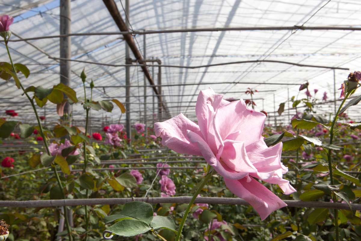 Inside the historic Pinchbeck Farm Greenhouses.