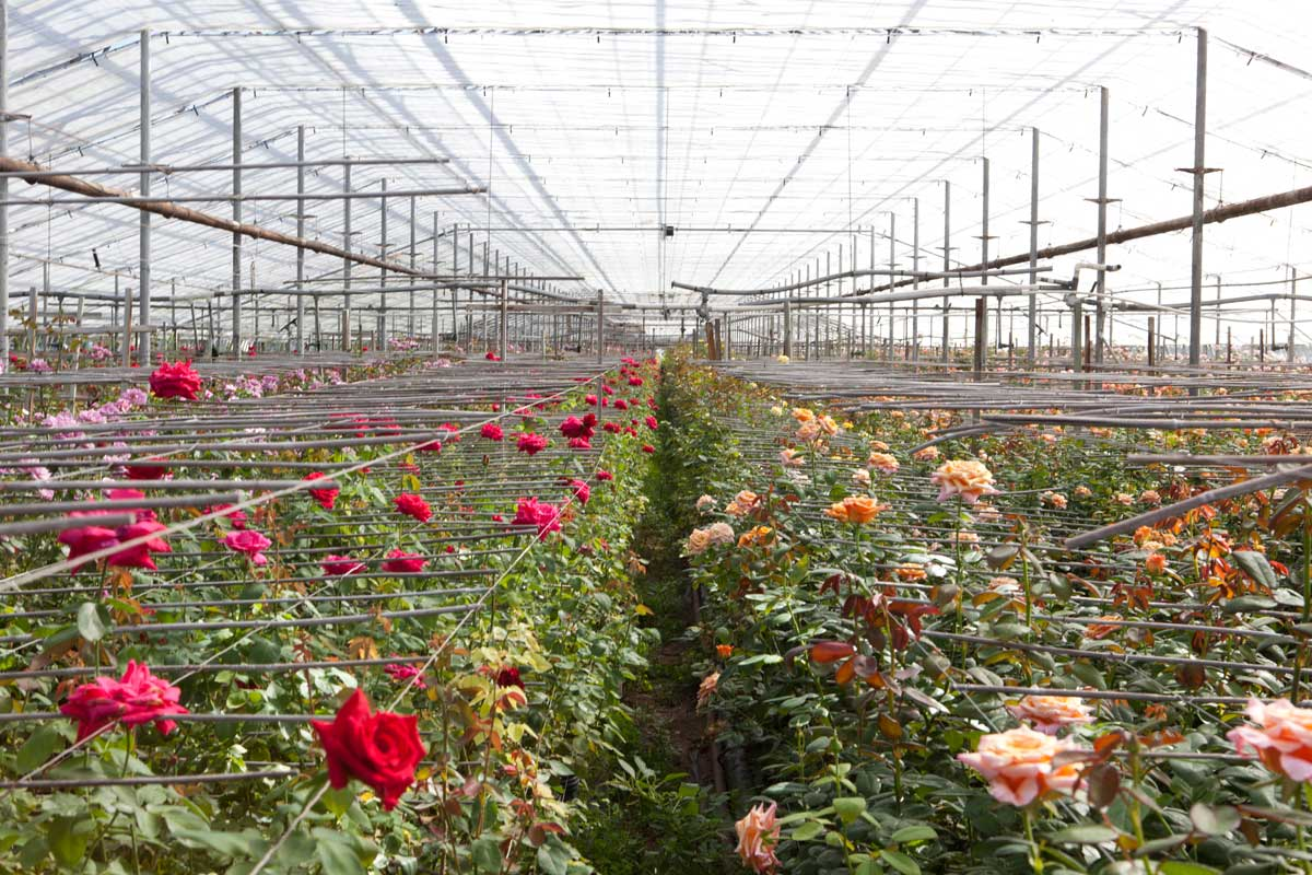 pinchbeck farm greenhouse roses
