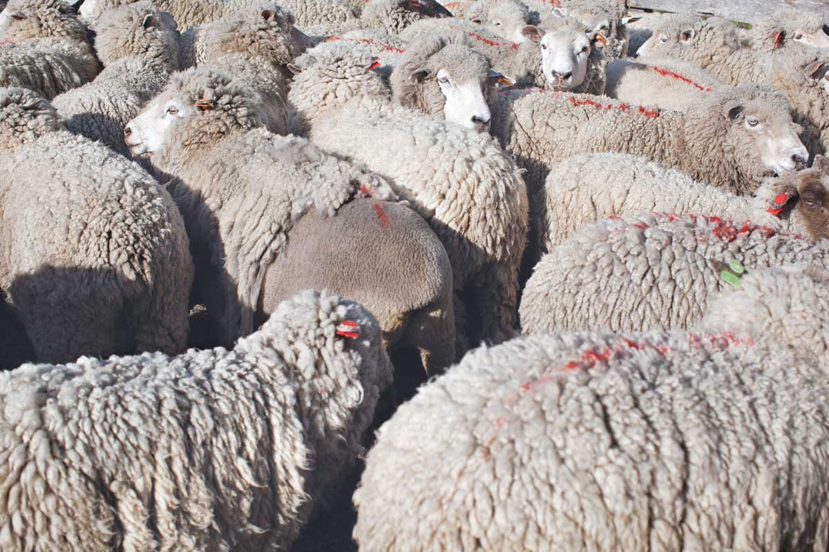 A few hundred sheep remain from the estancia days.