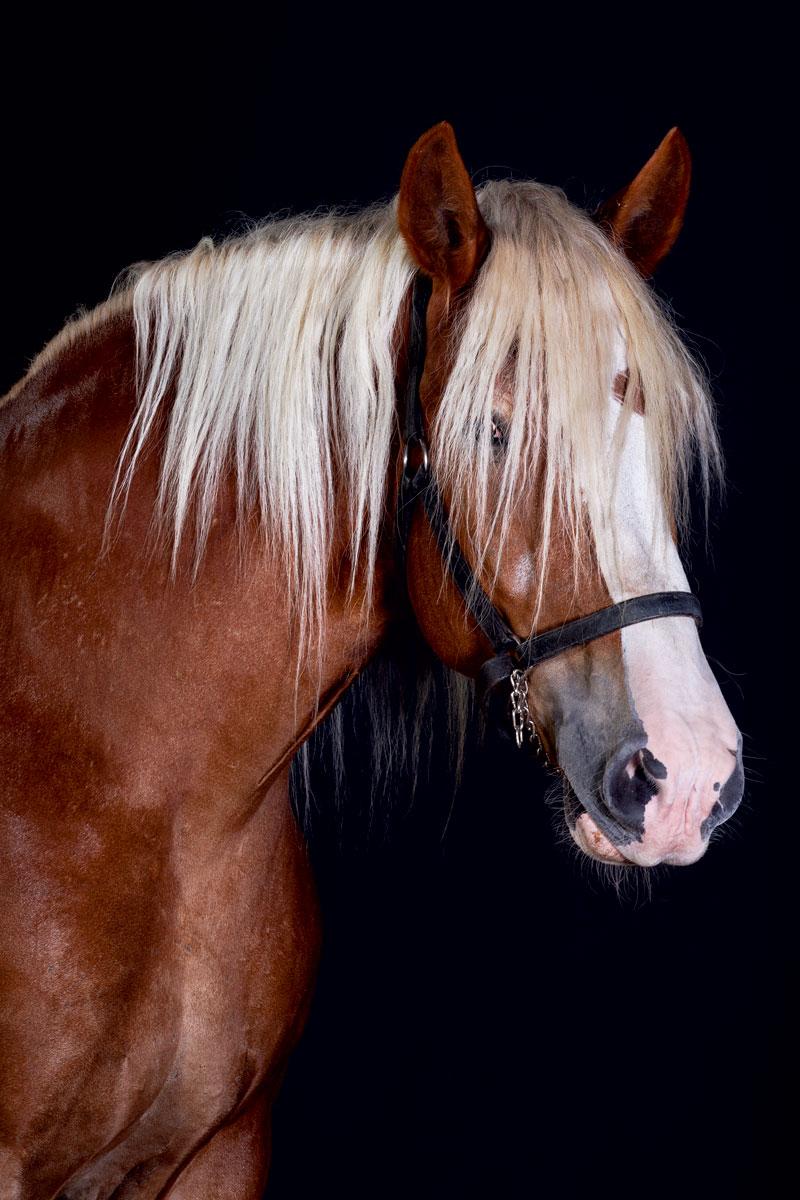 http://modernfarmer.com/wp-content/uploads/2015/12/draft-horses-american-belgian.jpg