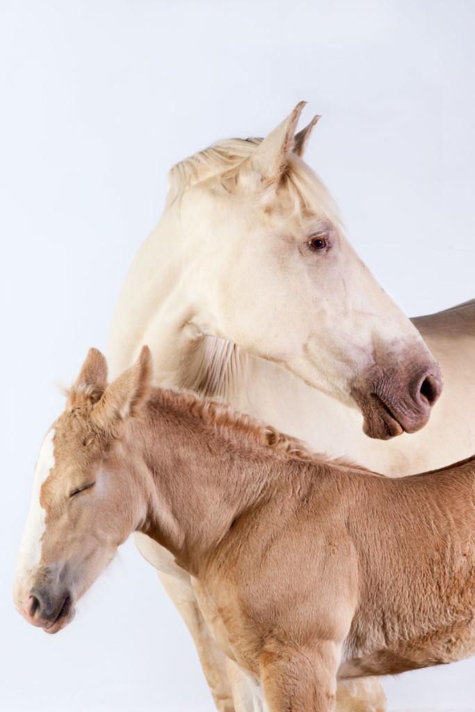 draft-horses-american-cream-duo
