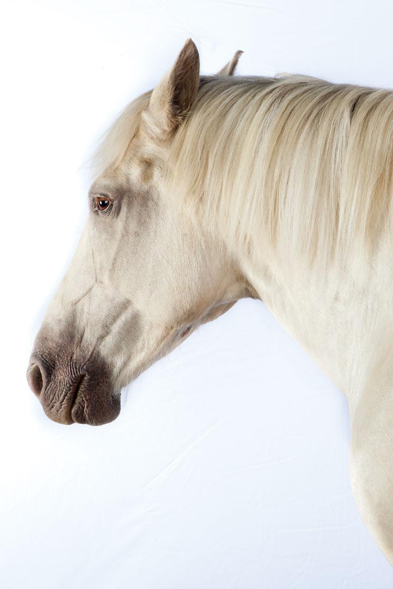 http://modernfarmer.com/wp-content/uploads/2015/12/draft-horses-american-cream.jpg