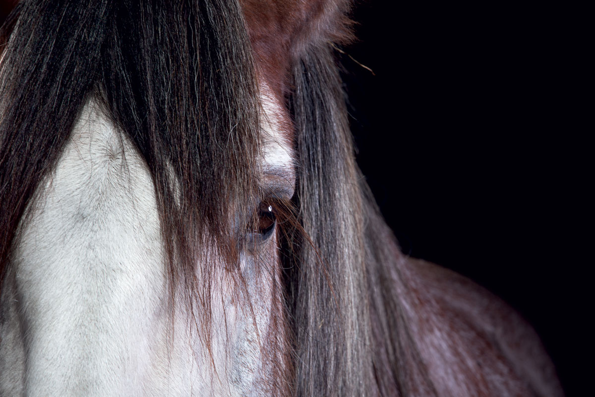 draft-horses-clydesdale-detail