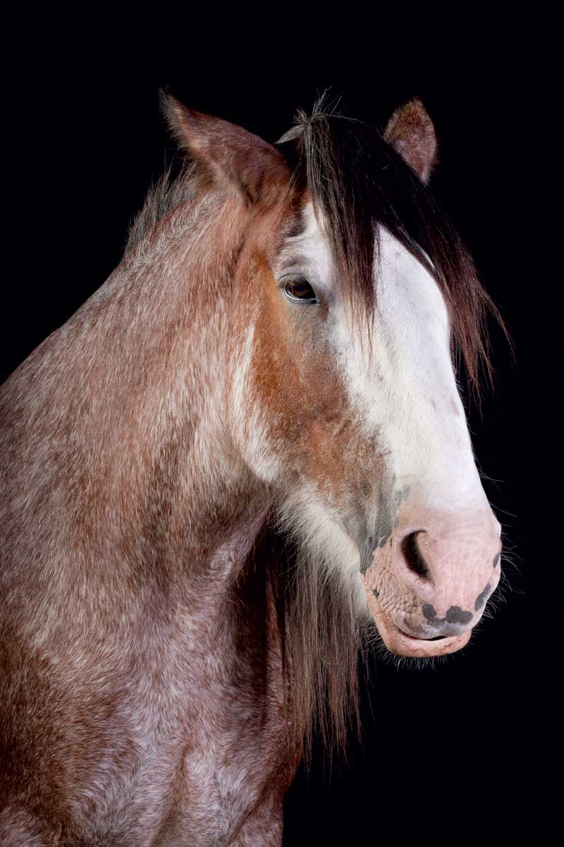 http://modernfarmer.com/wp-content/uploads/2015/12/draft-horses-clydesdale.jpg