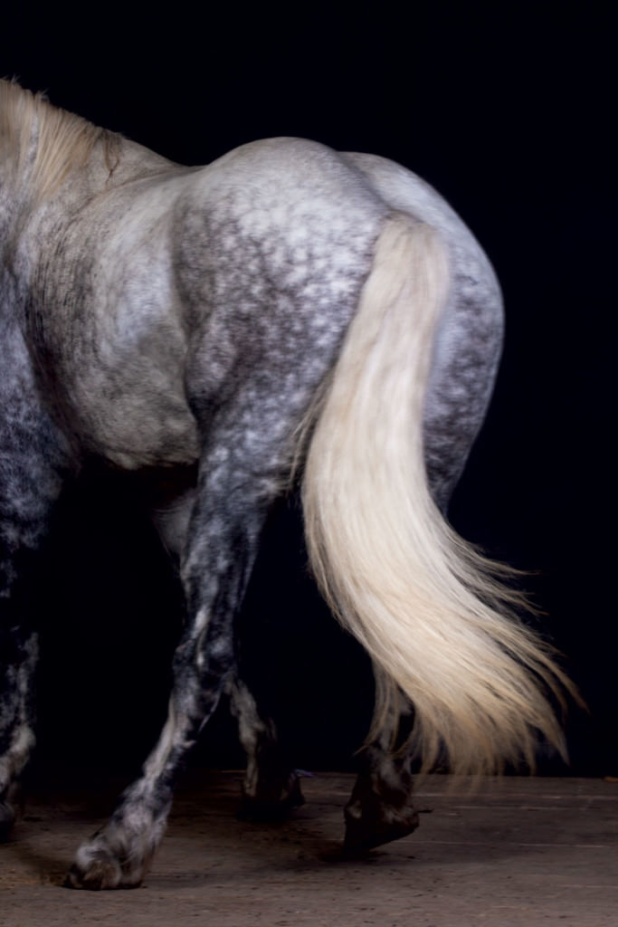 draft-horses-percheron-tail