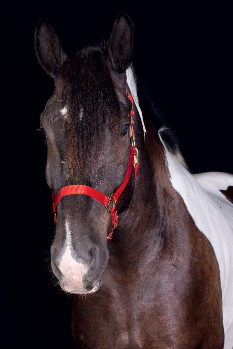 http://modernfarmer.com/wp-content/uploads/2015/12/draft-horses-spotted-draft.jpg
