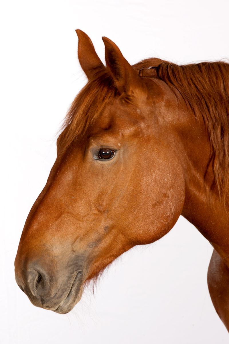 http://modernfarmer.com/wp-content/uploads/2015/12/draft-horses-suffolk-punch.jpg