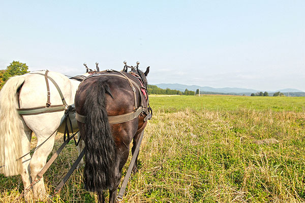 sterling college draft horse