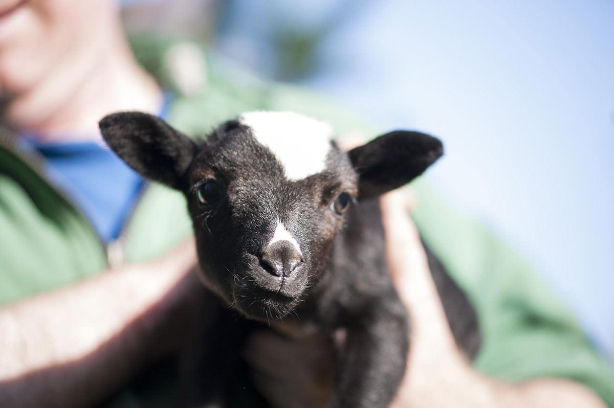 goat cuddle caromont farms