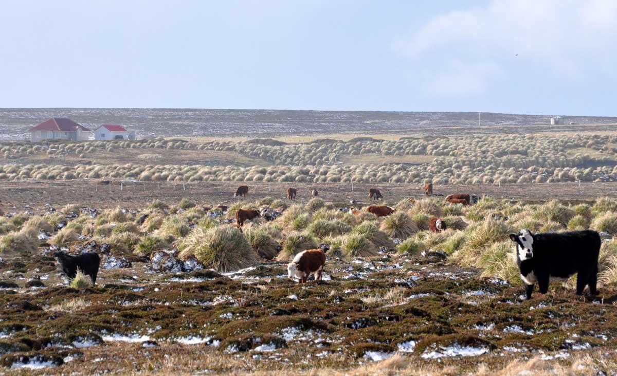 falkland-islands-cattle
