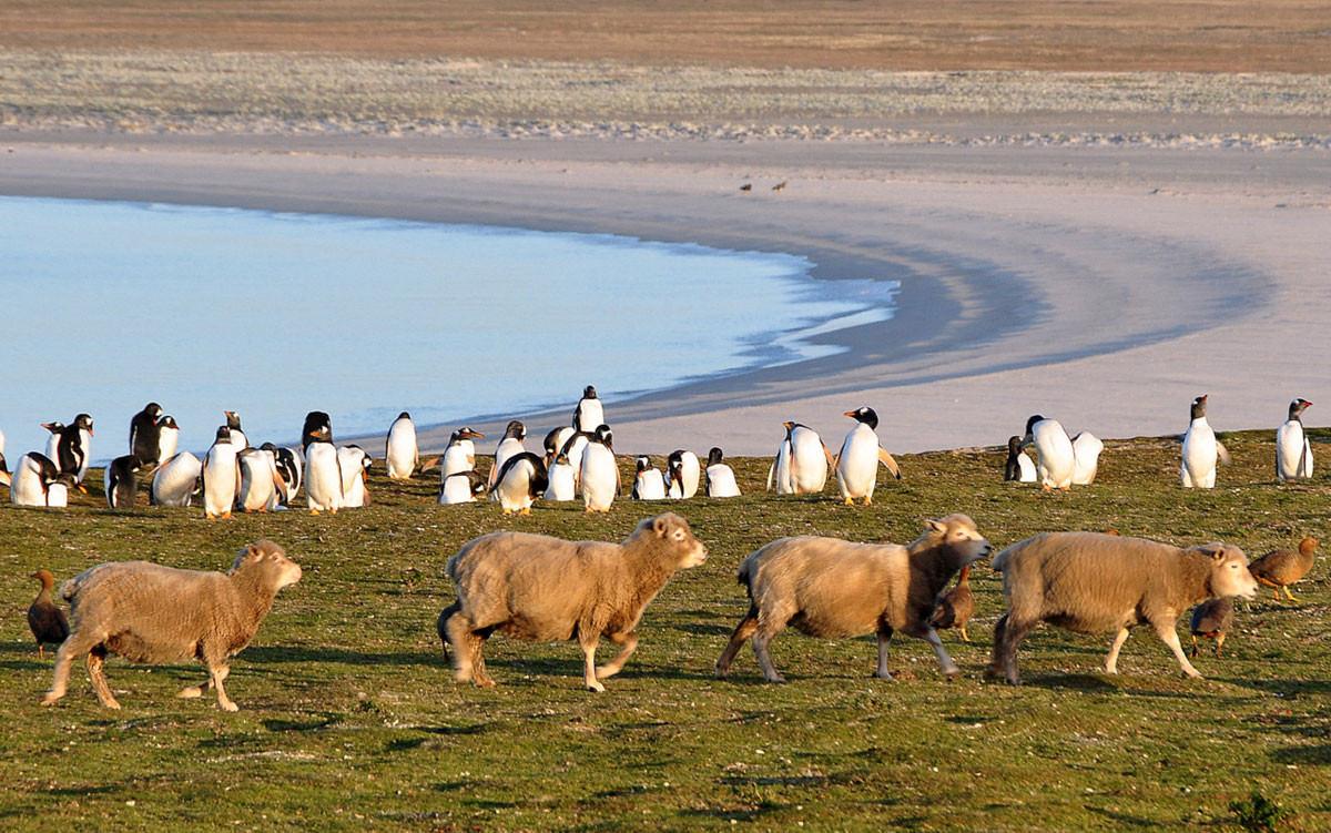 falkland-islands-penguin-sheep-1200x751.jpg