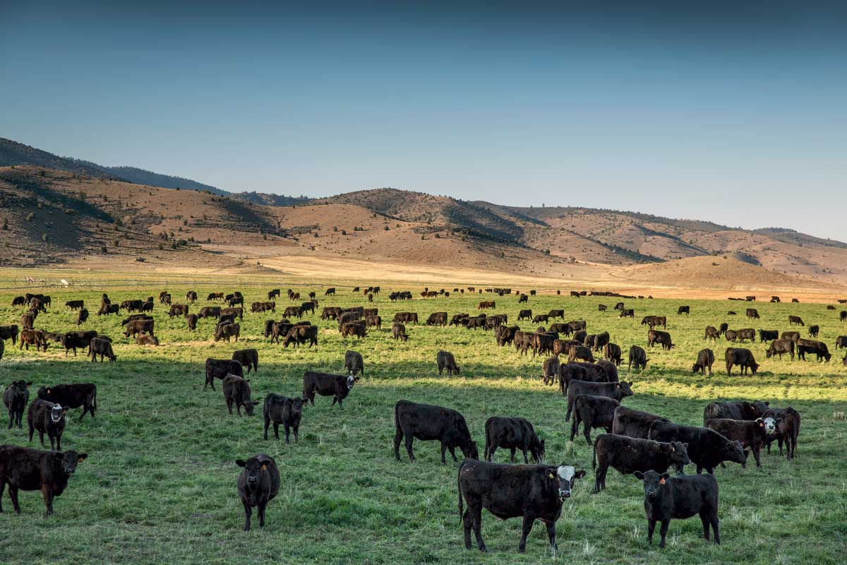 belcampo cattle