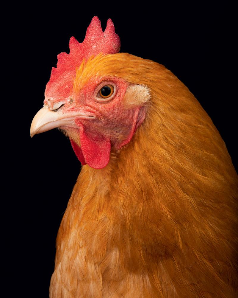 http://modernfarmer.com/wp-content/uploads/2016/03/chicken-breed-orpington.jpg