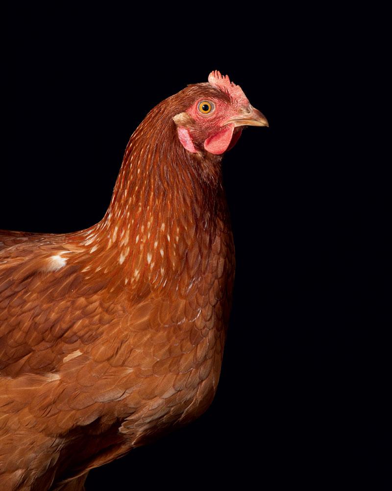 http://modernfarmer.com/wp-content/uploads/2016/03/chicken-breed-rhode-island-red.jpg