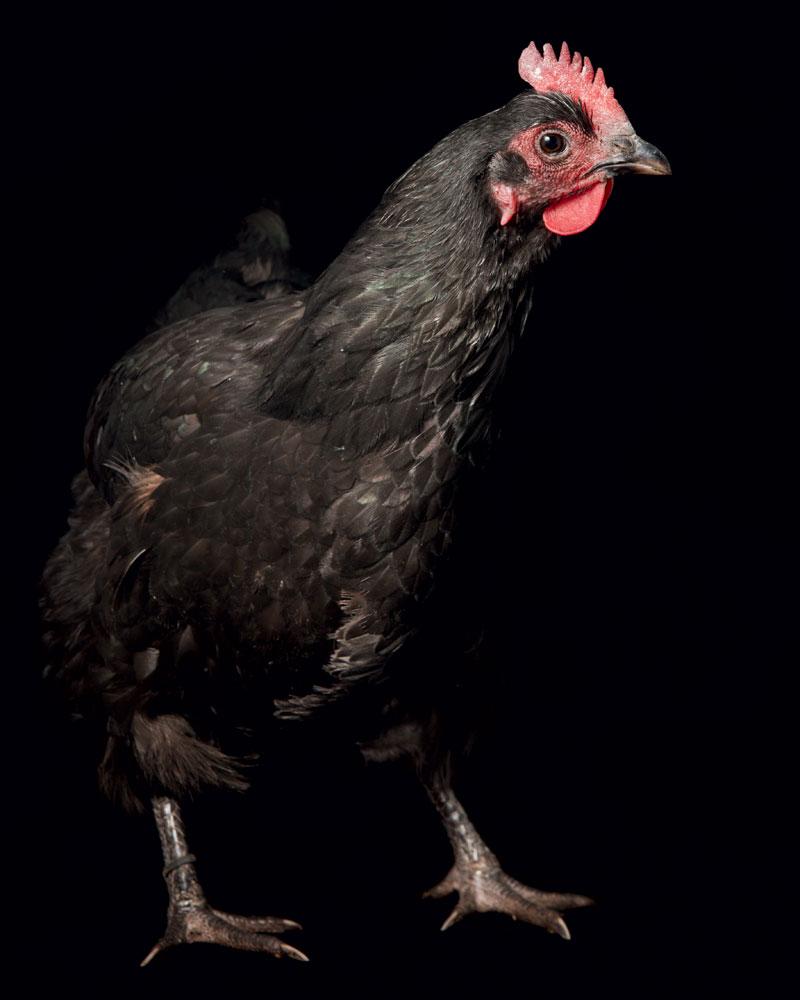 http://modernfarmer.com/wp-content/uploads/2016/03/chicken-breeds-australorp.jpg