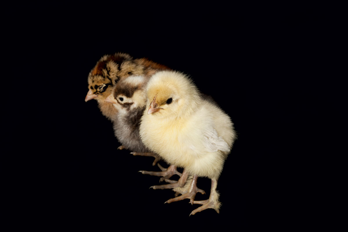 Above all, chicks require warmth before their downy fluff gives way to insulating feathers.