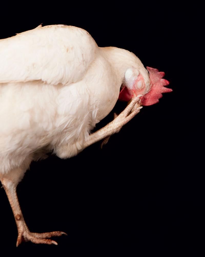chickens-leghorn