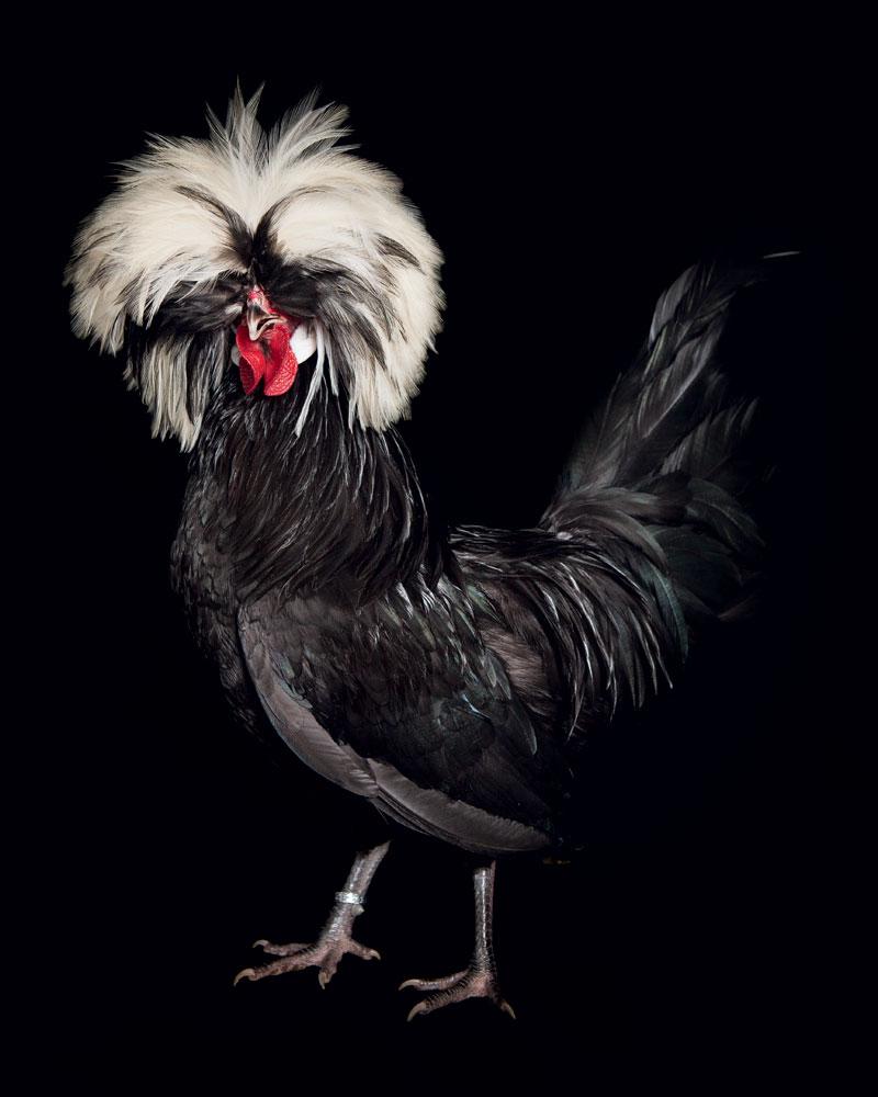chickens-polish