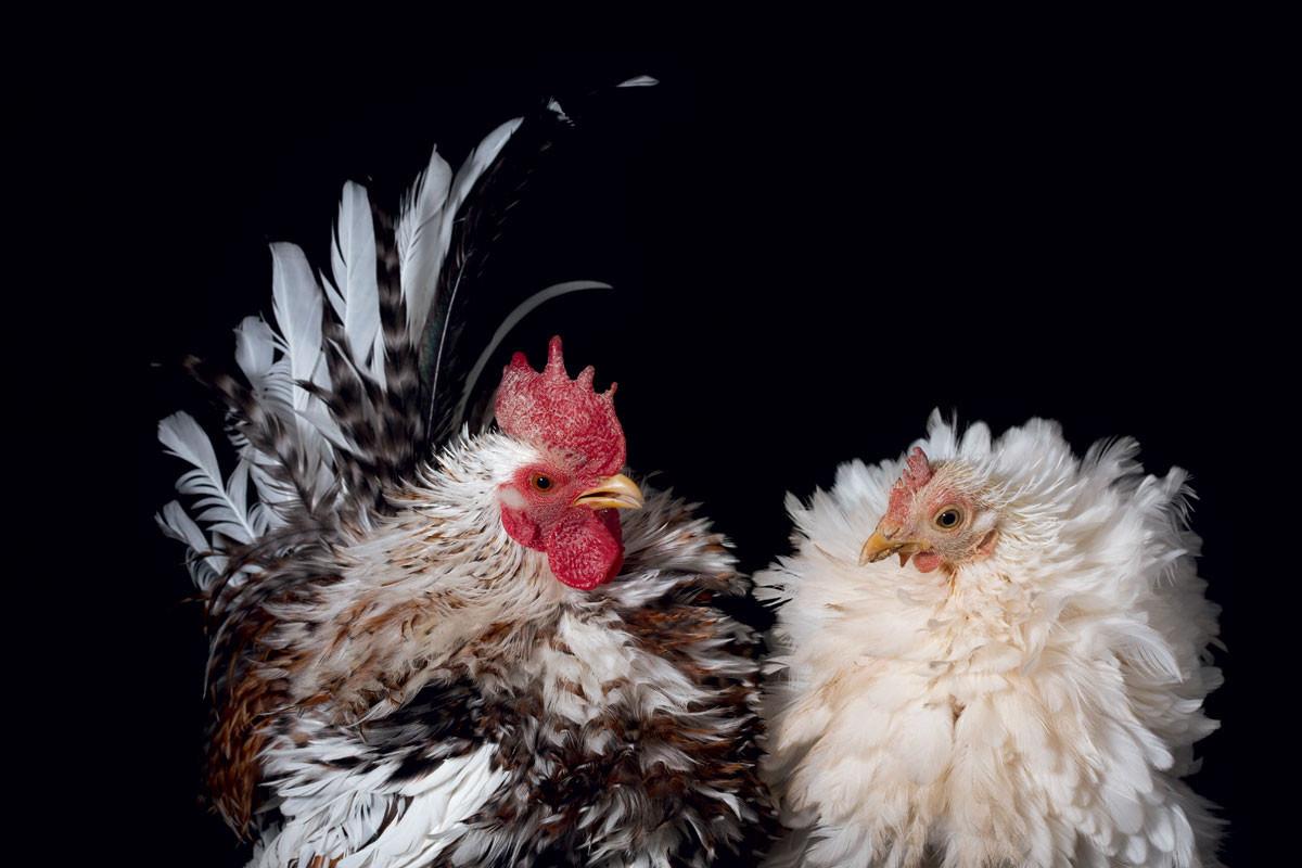 How To Raise Ens For Farm Fresh Eggs