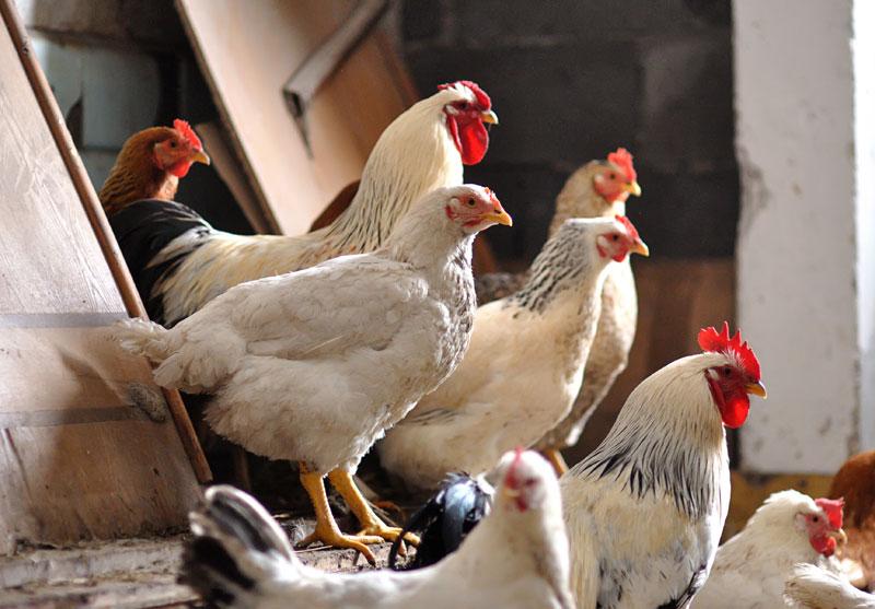 The Secrets Of Chicken Flocks Pecking Order Modern Farmer