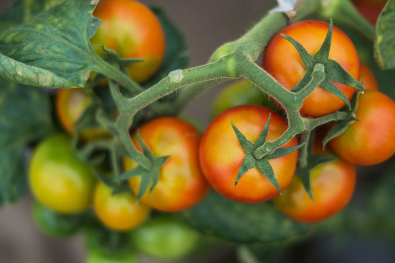 How To Trellis Tomatoes Fast With A Florida Weave