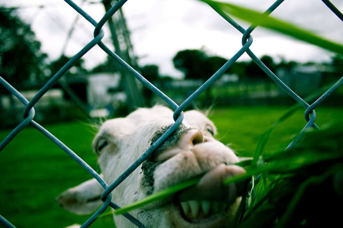 goat licking fence