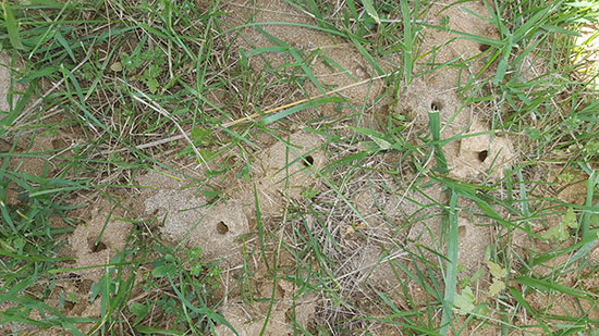 colletes-nest-aggregation_cleaned