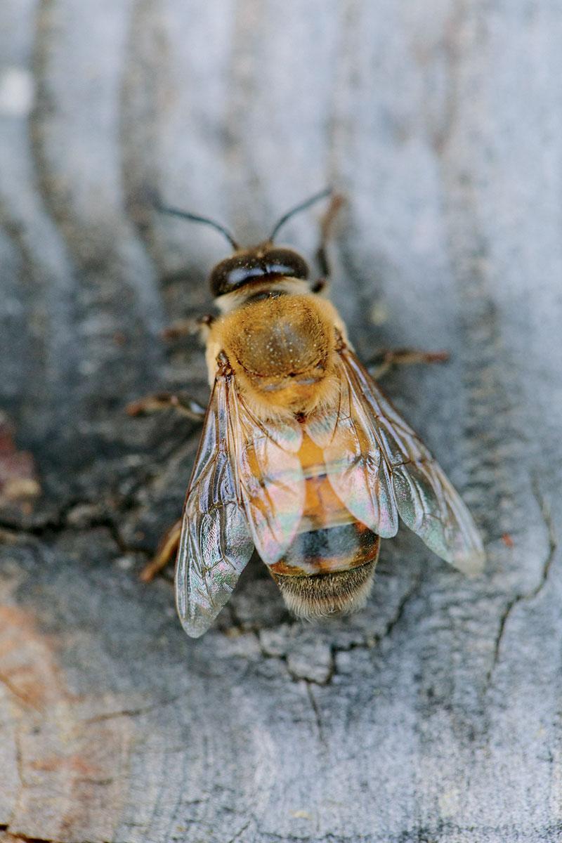 honeybee-male-drone