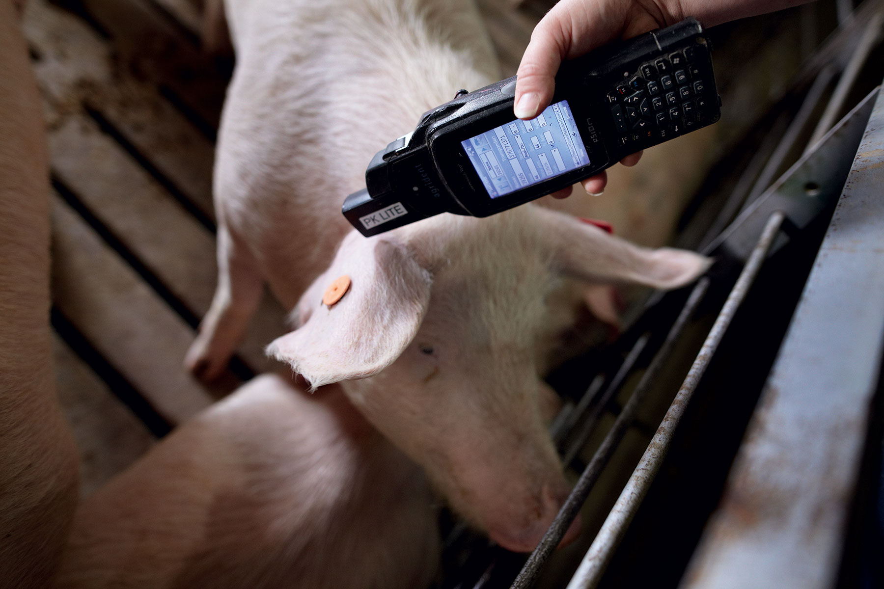 humane-pig-farming-ear-tag