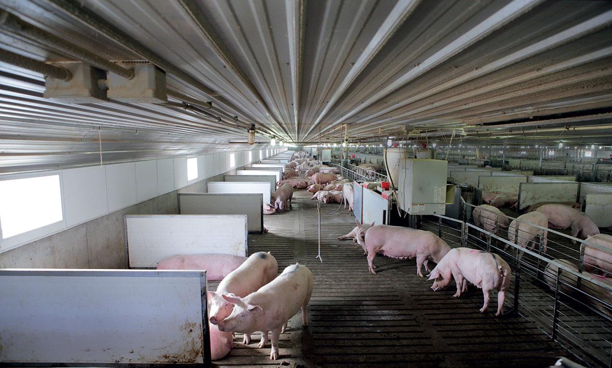 Building A Better Pigpen Modern Farmer