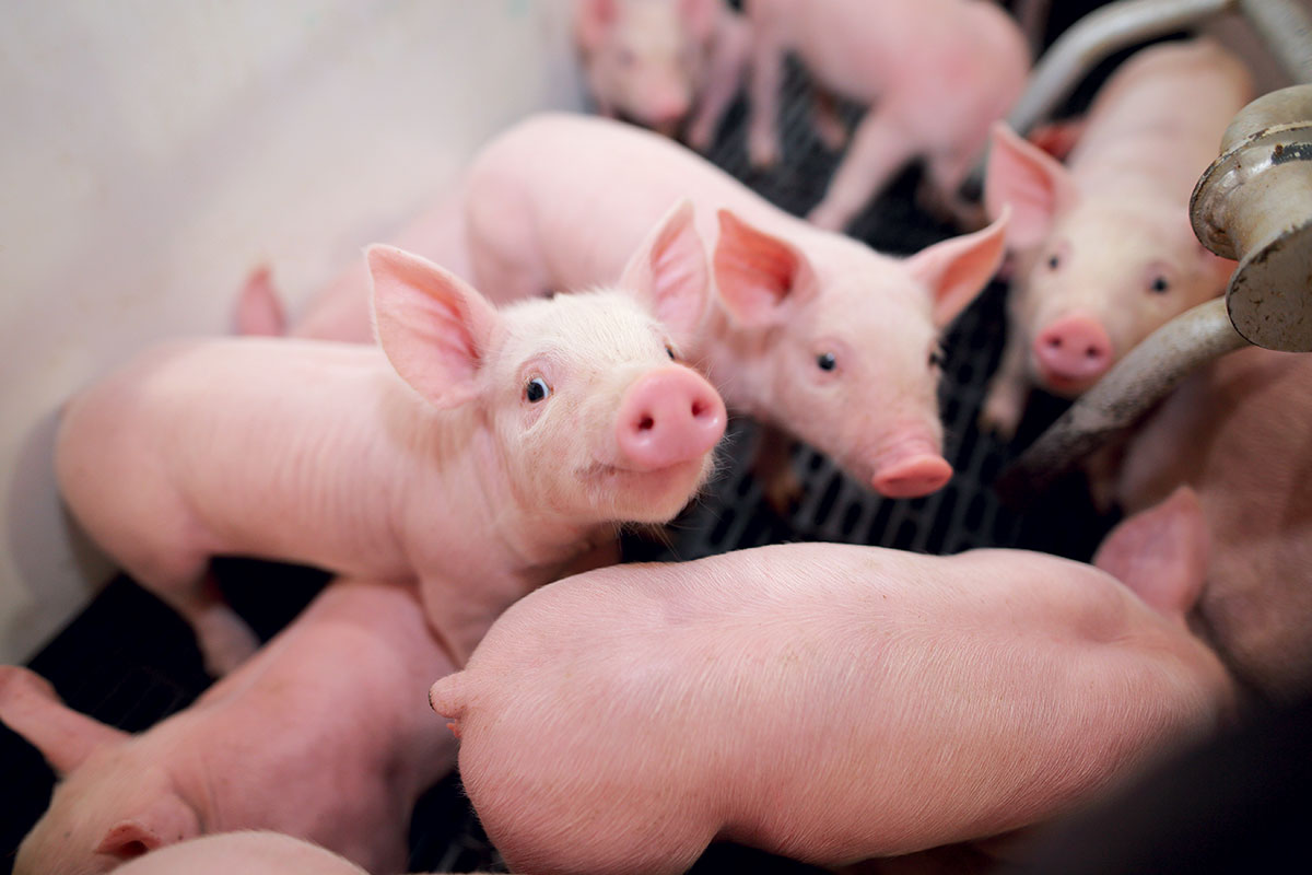 humane-pig-farming-piglets