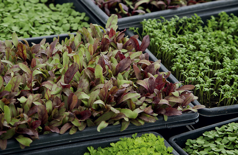 Cropped How To Grow Microgreens Modern Farmer