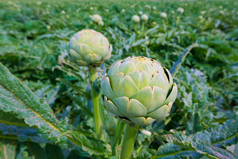 Plant These 10 Perennial Vegetables And Reap Harvests Year After