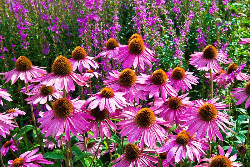 PageLines- medicinal-herbs-echinacea-hero.jpg