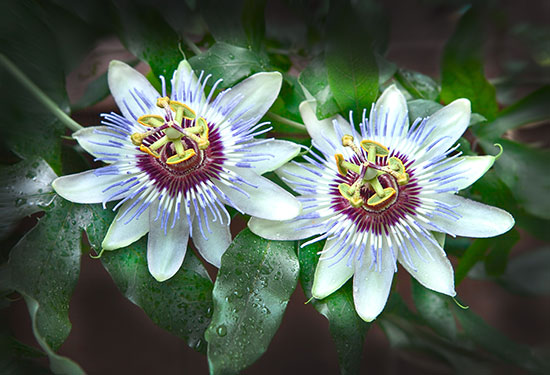medicinal-herbs-passionflower