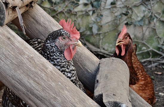 rafa-costa-e-silva-chicken