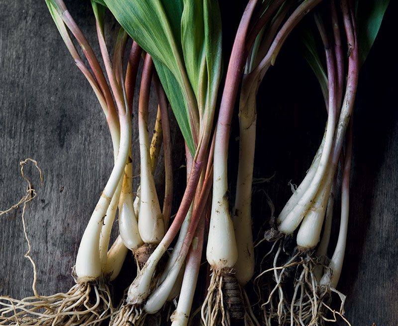 Cropped: How to Grow Ramps - Modern Farmer